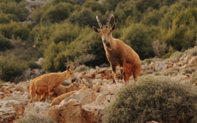 Encouraging news for the Nubian Ibex